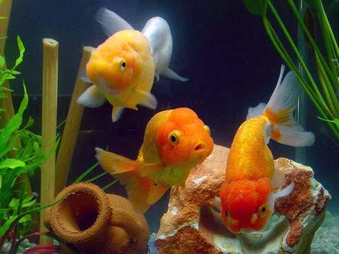Carassius auratus auratus acquaportal forum acquario for Acquario tartarughe e pesci insieme