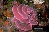 Lithophyllum spp