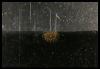 Efira (medusa)