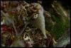 Chondrosia reniformis (Spugna)
